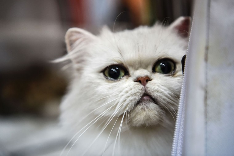 An exotic shorthair type cat is pictureds during a world cats show contest organized by the World Cat Federation (WCF) on October 16, 2016 in Istanbul. (OZAN KOSE/AFP/Getty Images)