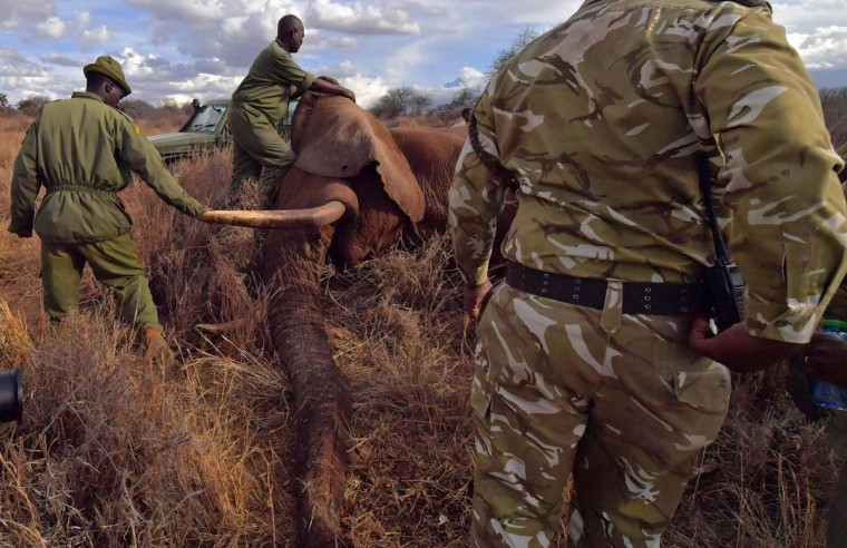 Veterinarians and park rangers attend to a sedated elephant outside Amboseli National Park on November 2, 2016. The International Fund for Animal Welfare (IFAW) is collaring two young male elephants from the Amboseli region to better understand their migration routes. As Kenya's population increases dramatically every year, more land traditionally used by elephants as migration routes is being populated and developed and elephants have been impacted. IFAW intends to study data from the collared elephants movements to plot how this impact affects them.(CARL DE SOUZA/AFP/Getty Images)