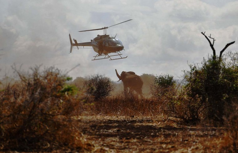 An elephant moves under an helicopter after it was darted with a tranquilizer outside Amboseli National Park on November 2, 2016. The International Fund for Animal Welfare (IFAW) is collaring two young male elephants from the Amboseli region to better understand their migration routes. As Kenya's population increases dramatically every year more land traditionally used by elephants as routes is being populated and developed and elephants have been impacted. IFAW intends to study data from the collared elephants movements to plot how this impact affects them. (CARL DE SOUZA/AFP/Getty Images)
