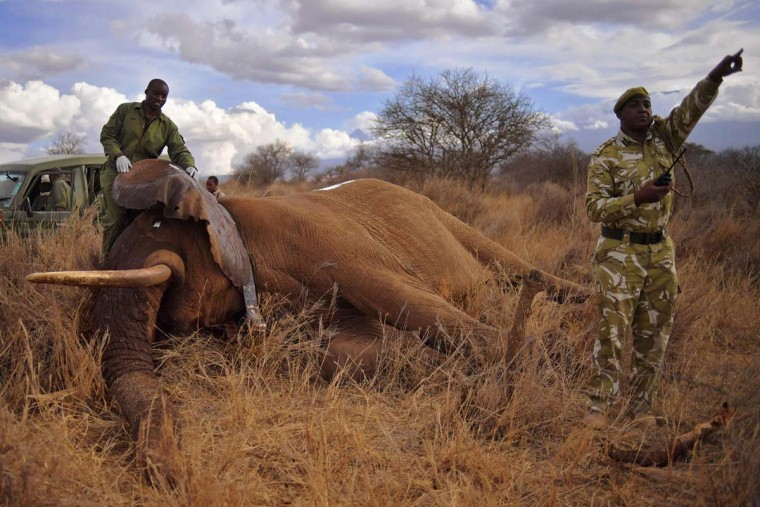 Veterinarians and park rangers attend to a sedated elephant outside Amboseli National Park on November 2, 2016. The International Fund for Animal Welfare (IFAW) is collaring two young male elephants from the Amboseli region to better understand their migration routes. As Kenya's population increases dramatically every year, more land traditionally used by elephants as migration routes is being populated and developed and elephants have been impacted. IFAW intends to study data from the collared elephants movements to plot how this impact affects them. (CARL DE SOUZA/AFP/Getty Images)