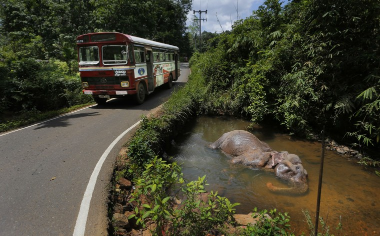 In this July 5, 2016 photo, a tamed elephant rests in a pool of water by a road in Baduraliya, a village outside Colombo, Sri Lanka. Even as the country cracks down on illegal ownership, the enduring demand for elephants has the government planning to set up its own pool of captive animals to be hired out to temples for ceremonies and maintained with budget funds. For Buddhists, who make up 70 percent of the island's 20 million population, elephants are believed to have been a servant of the Buddha and even a previous incarnation of the holy man himself. (AP Photo/Eranga Jayawardena)