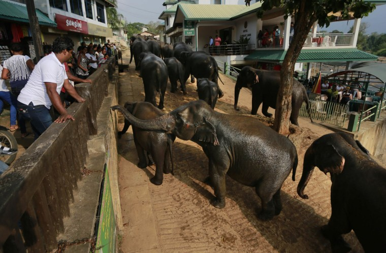 In this Oct. 31, 2016 photo, Sri Lankans watch a heard of elephants at the elephant orphanage in Pinnawala about 90 kilometers (56 miles) east of Colombo, Sri Lanka. For centuries, owning an elephant was seen by Sri Lanka's Buddhist elite as a sign of prestige and authority. Many among the wealthy, who consider the animals to be divine, have long flouted laws against elephant ownership to keep a jumbo chained up in their back yard. But with illegal capture helping to drive wild populations into steep decline, the government is now cracking down, seizing the animals and launching criminal investigations against elite members of society, including a monk and a judge. (AP Photo/Eranga Jayawardena)