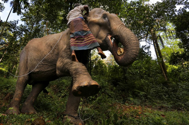In this July 5, 2016 photo, a Sri Lankan mahout attempt to measure the height of his tamed elephant in the backyard of his home in Baduraliya, a village outside Colombo, Sri Lanka. Even as the country cracks down on illegal ownership, the enduring demand for elephants has the government planning to set up its own pool of captive animals to be hired out to temples for ceremonies and maintained with budget funds. For Buddhists, who make up 70 percent of the island's 20 million population, elephants are believed to have been a servant of the Buddha and even a previous incarnation of the holy man himself. (AP Photo/Eranga Jayawardena)