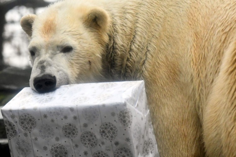 A polar bear tries to open a wrapped package filled with food as a Christmas gift at the zoo in La Fleche, western France, on December 23, 2016. / (AFP Photo/Jean-francois Monier)