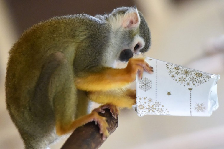 A squirrel monkey tries to open a wrapped package filled with food as a Christmas gift at the zoo of La Fleche, western France, on December 23, 2016. / (AFP Photo/Jean-francois Monier)