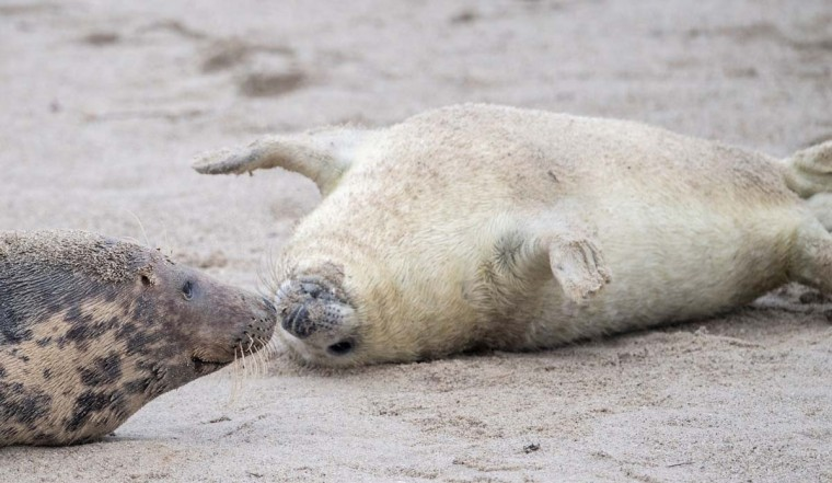 A Grey Seal pup rolls over to get close to his mother (left) on the beach on the north Sea island of Helgoland, Germany, on December 14, 2016. As the mating season starts after female Grey Seals give birth, males usually compete by shows of strength against other males. Hundreds of Grey Seals use the island to give birth to their pups, usually between the months of November and January. The pups, after 3 weeks of nursing, are then left to fend for themselves. This year has seen a record number of new pups, with 320 births recorded up to December 14. (JOHN MACDOUGALL/AFP/Getty Images)