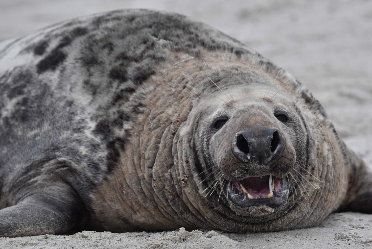 A male grey seal shows his teeth as he lies on the beach on the North Sea island of Heligoland, Germany, on December 14, 2016. As the mating season starts after female grey seals give birth, males usually compete by shows of strength against other males. Hundreds of grey seals use the island to give birth to their pups, usually between the months of November and January. The pups, after 3 weeks of nursing, are then left to fend for themselves. This year has seen a record number of new pups, with 320 births recorded up to December 14. (John Macdougall/AFP/Getty Images)