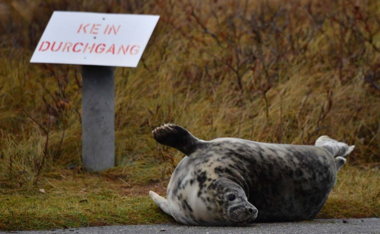 "A female Grey Seal who strayed from the beach, lies next to a sign reading: ""No throughway"" on the north Sea island of Helgoland, Germany, on December 14, 2016. As the mating season starts after female Grey Seals give birth, males usually compete by shows of strength against other males. Hundreds of Grey Seals use the island to give birth to their pups, usually between the months of November and January. The pups, after 3 weeks of nursing, are then left to fend for themselves. This year has seen a record number of new pups, with 320 births recorded up to December 14. (JOHN MACDOUGALL/AFP/Getty Images)"