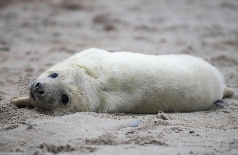 A newly born grey seal pup lies on a beach on the North Sea island of Heligoland, Germany, on December 14, 2016. As the mating season starts after female grey seals give birth, males usually compete by shows of strength against other males. Hundreds of grey seals use the island to give birth to their pups, usually between the months of November and January. The pups, after 3 weeks of nursing, are then left to fend for themselves. This year has seen a record number of new pups, with 320 births recorded up to December 14. (John Macdougall/AFP/Getty Images)