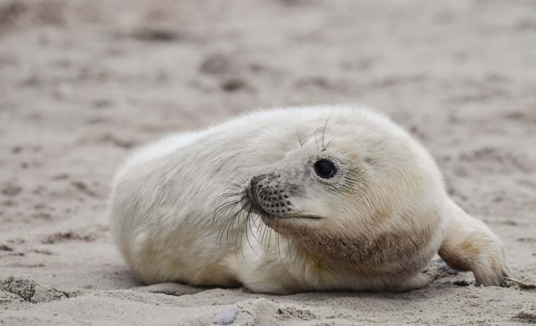 A newly born Grey Seal pup lies on a beach on the north Sea island of Helgoland, Germany, on December 14, 2016. As the mating season starts after female Grey Seals give birth, males usually compete by shows of strength against other males. Hundreds of Grey Seals use the island to give birth to their pups, usually between the months of November and January. The pups, after 3 weeks of nursing, are then left to fend for themselves. This year has seen a record number of new pups, with 320 births recorded up to December 14. (JOHN MACDOUGALL/AFP/Getty Images)