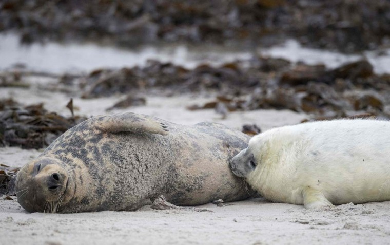A female Grey Seal nurses her pup on a beach on the north Sea island of Helgoland, Germany, on December 14, 2016. As the mating season starts after female Grey Seals give birth, males usually compete by shows of strength against other males. Hundreds of Grey Seals use the island to give birth to their pups, usually between the months of November and January. The pups, after 3 weeks of nursing, are then left to fend for themselves. This year has seen a record number of new pups, with 320 births recorded up to December 14. (JOHN MACDOUGALL/AFP/Getty Images)