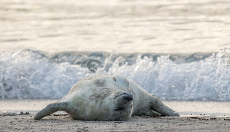 A Grey Seal pup lies on its back on a beach on the north Sea island of Helgoland on December 14, 2016. Hundreds of Grey Seals use the island to give birth to their pups, usually between the months of November and January. The pups, after 3 weeks of nursing, are then left to fend for themselves. This year has seen a record number of new pups, with 320 births recorded up to December 14. (JOHN MACDOUGALL/AFP/Getty Images)