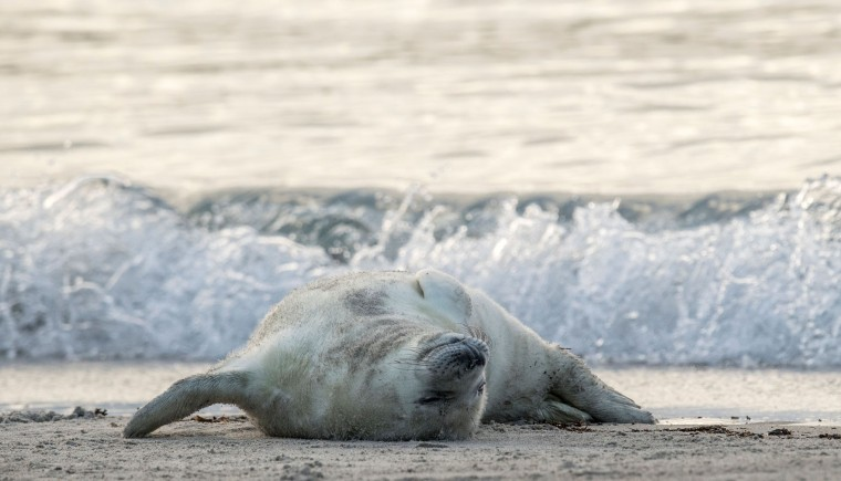A grey seal pup lies on its back on a beach on the North Sea island of Heligoland on December 14, 2016. Hundreds of grey seals use the island to give birth to their pups, usually between the months of November and January. The pups, after 3 weeks of nursing, are then left to fend for themselves. This year has seen a record number of new pups, with 320 births recorded up to December 14. (John Macdougall/AFP/Getty Images)