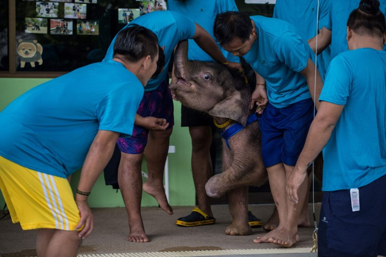 Six month-old baby elephant 'Clear Sky' receives assistance from her guardians before she was lowered into a pool for a hydrotherapy session at a local clinic in Chonburi province on January 5, 2017. After losing part of her left foot in a snare in Thailand, baby elephant 'Clear Sky' is now learning to walk again -- in water. The six-month-old is the first elephant to receive hydrotherapy at an animal hospital in Chonburi province, a few hours from Bangkok. The goal is to strengthen the withered muscles in her front leg, which was wounded three months ago in an animal trap laid by villagers to protect their crops. (Roberto Schmidt/AFP/Getty Images)