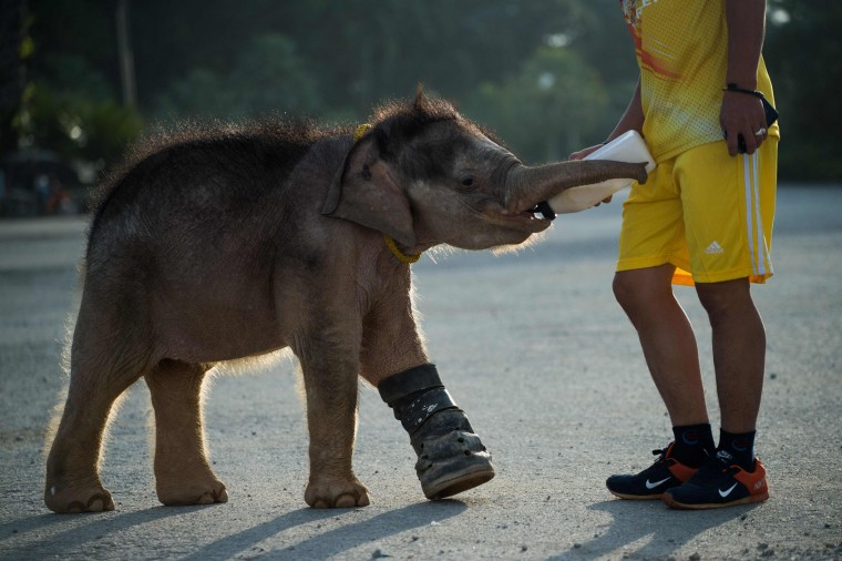 Six month-old baby elephant 'Clear Sky' drinks milk from a bottle as she goes for a morning walk with one of her guardians at the Nong Nooch Tropical Garden park in Chonburi on January 5, 2017 before she was taken to a veterinary clinic for a hydrotherapy session. After losing part of her left foot in a snare in Thailand, baby elephant 'Clear Sky' is now learning to walk again -- in water. The six-month-old is the first elephant to receive hydrotherapy at an animal hospital in Chonburi province, a few hours from Bangkok. The goal is to strengthen the withered muscles in her front leg, which was wounded three months ago in an animal trap laid by villagers to protect their crops. (Roberto Schmidt/AFP/Getty Images)