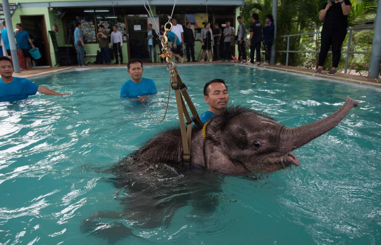 Six month-old baby elephant 'Clear Sky' is kept afloat by a harness during a hydrotherapy session at a local veterinary clinic in Chonburi Province on January 5, 2017. After losing part of her left foot in a snare in Thailand, baby elephant 'Clear Sky' is now learning to walk again -- in water. The six-month-old is the first elephant to receive hydrotherapy at an animal hospital in Chonburi province, a few hours from Bangkok. The goal is to strengthen the withered muscles in her front leg, which was wounded three months ago in an animal trap laid by villagers to protect their crops. (Roberto Schmidt/AFP/Getty Images)