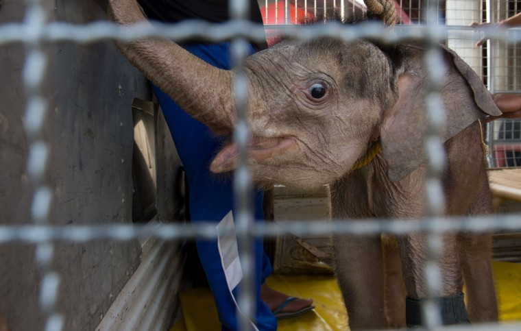 Six month-old baby elephant 'Clear Sky' looks from the back of a truck at the Nong Nooch Tropical Garden tourist park before she was transported to a local veterinary clinic for a hydrotherapy session in Chonburi Province on January 5, 2017. After losing part of her left foot in a snare in Thailand, baby elephant 'Clear Sky' is now learning to walk again -- in water. The six-month-old is the first elephant to receive hydrotherapy at an animal hospital in Chonburi province, a few hours from Bangkok. The goal is to strengthen the withered muscles in her front leg, which was wounded three months ago in an animal trap laid by villagers to protect their crops. (Roberto Schmidt/AFP/Getty Images)