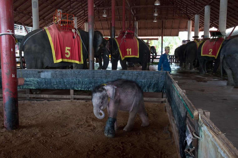 Six month-old baby elephant 'Clear Sky' walks in her enclosure near working elephants (background) at the Nong Nooch Tropical Garden tourist park after she was brought back from a local veterinary clinic for a hydrotherapy session in Chonburi Province on January 5, 2017. After losing part of her left foot in a snare in Thailand, baby elephant 'Clear Sky' is now learning to walk again -- in water. The six-month-old is the first elephant to receive hydrotherapy at an animal hospital in Chonburi province, a few hours from Bangkok. The goal is to strengthen the withered muscles in her front leg, which was wounded three months ago in an animal trap laid by villagers to protect their crops. (Roberto Schmidt/AFP/Getty Images)