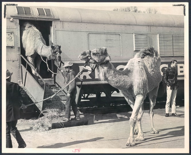 Camels at the Ringling Brothers circus in 1967. (Baltimore Sun)
