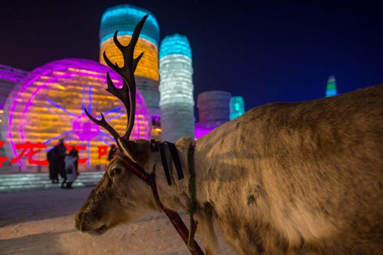 A reindeer is seen as people visit ice sculptures illuminated by colored lights at the Harbin Ice and Snow Festival to celebrate the new year in Harbin on January 4, 2017. (NICOLAS ASFOURI/AFP/Getty Images)