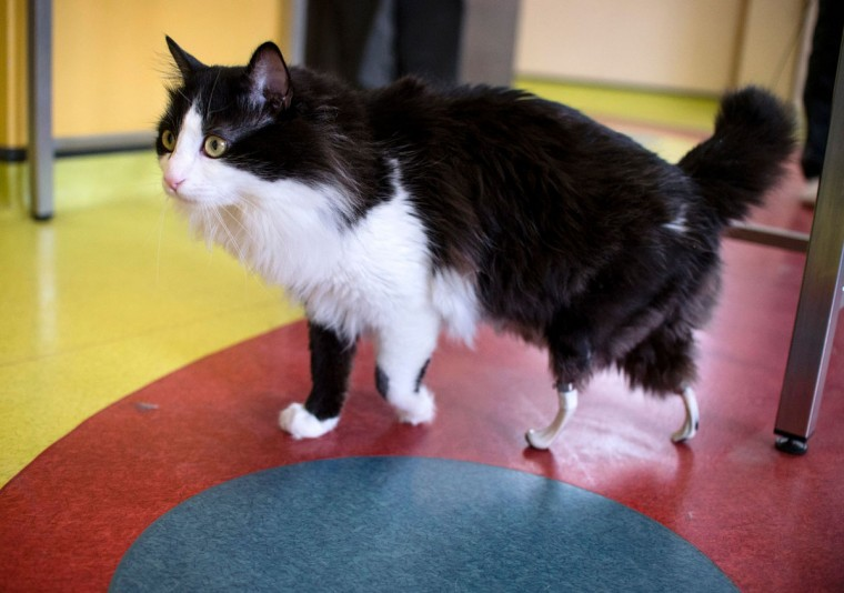 Pooh, a one-year-old cat, who lost his hind legs in an accident and has been given bionic paws, walks in a vet clinic in Sofia on January 31, 2017. Pooh, who is thought to have lost his legs in a car or train accident last April, is back on the prowl thanks to Bulgarian veterinary surgeon Vladislav Zlatinov. He is the first vet in Europe to successfully apply the pioneering method of Irish neuro-orthopaedic surgeon Noel Fitzpatrick, who shot to fame in 2009 when making Oscar the first bionic cat by fitting him with new hind legs in Britain. (AFP PHOTO / NIKOLAY DOYCHINOV)