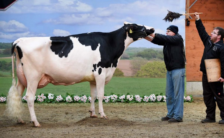 "A cow is made ready to be photographed during the 44th edition of the ""Schau der Besten"" (Show of the Best) dairy cow beauty pageant on February 23, 2017 in Verden an der Aller, northwestern Germany. About 200 cows compete in 18 different categories. (CARMEN JASPERSEN/AFP/Getty Images)"