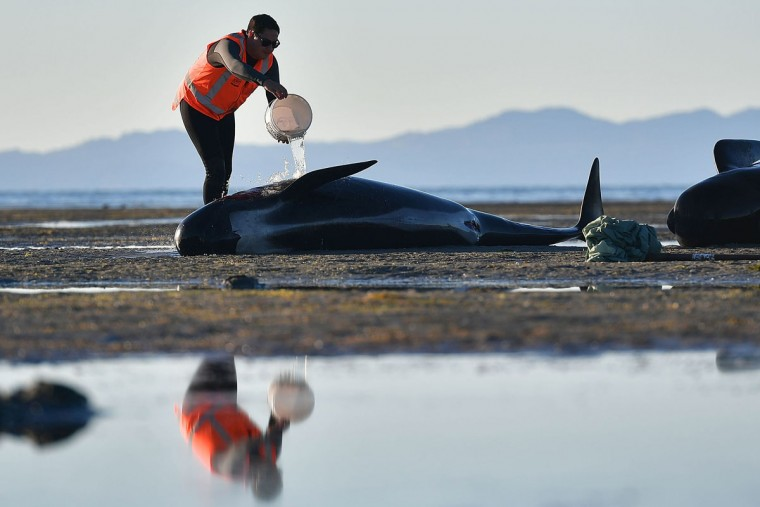 This picture taken on February 11, 2017 shows a volunteer caring for a pilot whale during a mass stranding at Farewell Spit. Most of the more than 200 whales who became stranded on New Zealand's notorious Farewell Spit on the weekend have been able to refloat themselves, conservation officials said on February 12. / (AFP PHOTO / Marty MELVILLE)
