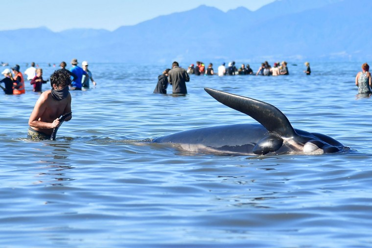 This picture taken on February 11, 2017 shows a volunteer bringing a dead pilot whale back to the beach after a mass stranding at Farewell Spit. Most of the more than 200 whales who became stranded on New Zealand's notorious Farewell Spit on the weekend have been able to refloat themselves, conservation officials said on February 12. (AFP PHOTO / Marty MELVILLE)