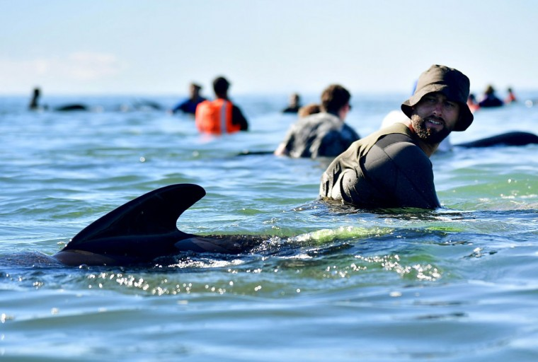 This picture taken on February 11, 2017 shows pilot whales being guided out to deeper water after a mass stranding at Farewell Spit. Most of the more than 200 whales who became stranded on New Zealand's notorious Farewell Spit on the weekend have been able to refloat themselves, conservation officials said on February 12. (AFP PHOTO / Marty MELVILLE)