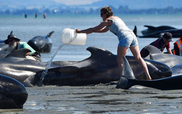 A volunteer pours water on pilot whales during a mass stranding at Farewell Spit on February 11, 2017. Rescuers defied a shark threat to form a human chain in a New Zealand bay on February 11 in a bid to keep another 200 whales from becoming stranded a day after hundreds died in a mass beaching. (AFP PHOTO / Marty MELVILLE)