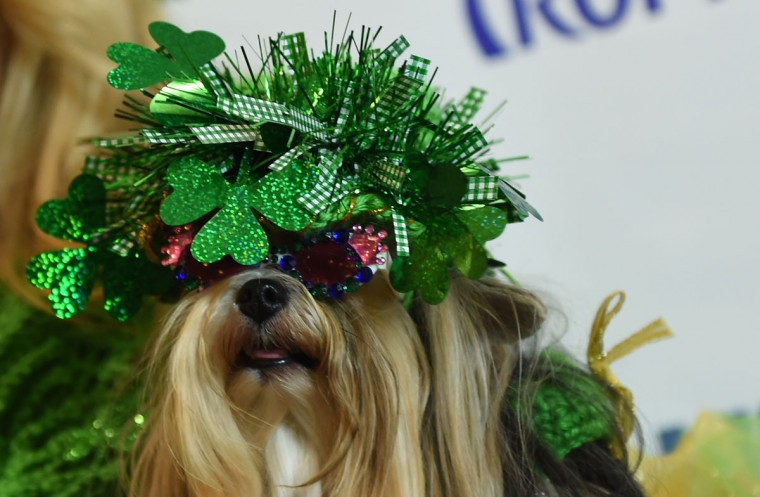 A dog dressed in the fashion of Ireland and a contestant in the World Fashion Presents poses during the 14th Annual New York Pet Fashion Show presented by TropiClean at the Hotel Pennsylvania February 9, 2017. (TIMOTHY A. CLARY/AFP/Getty Images)