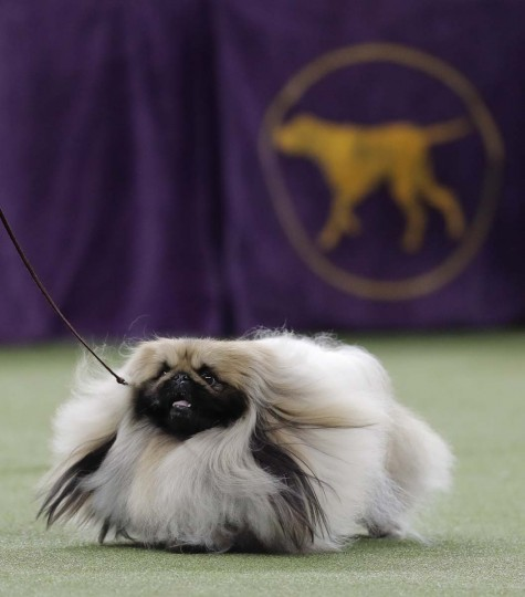 Chuckie, a Pekingese, walks behind his handler during the Best in Show competition at the 141st Westminster Kennel Club Dog Show, Tuesday, Feb. 14, 2017, in New York. (AP Photo/Julie Jacobson)