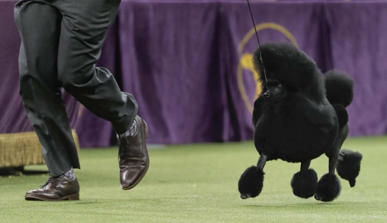 Aftin, a miniature poodle, takes a lap around the ring with her handler during the Best in Show competition at the 141st Westminster Kennel Club Dog Show, Tuesday, Feb. 14, 2017, in New York. (AP Photo/Julie Jacobson)