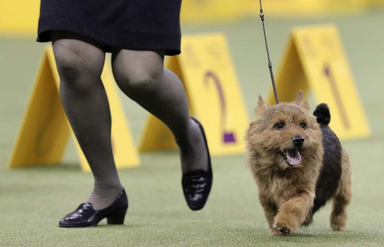 Tanner, a Norwich terrier, jogs through the ring during the terrier group competition at the 141st Westminster Kennel Club Dog Show, Tuesday, Feb. 14, 2017, in New York. (AP Photo/Julie Jacobson)