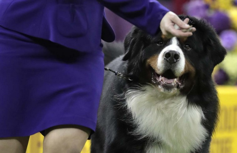 A Saint Bernard eyes a treat as it follows its handler around the ring during the working class competition at the 141st Westminster Kennel Club Dog Show, Tuesday, Feb. 14, 2017, in New York. (AP Photo/Julie Jacobson)