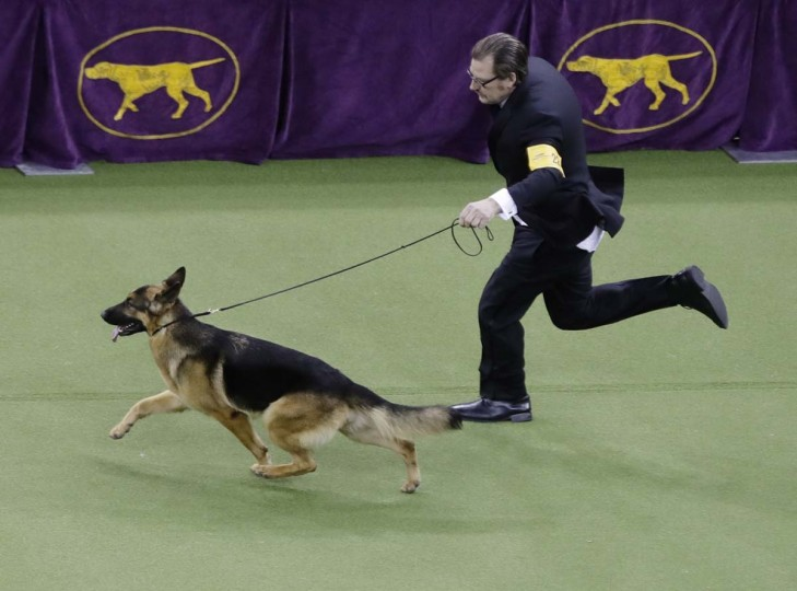 Handler and co-owner Kent Boyles guides Rumor, a German shepherd who later won Best in Show, at the 141st Westminster Kennel Club Dog Show on Tuesday, Feb. 14, 2017, in New York. (AP Photo/Frank Franklin II)