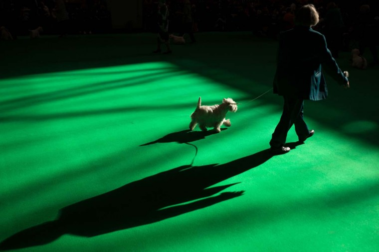 A woman shows her West Highland White Terrier on the first day of the Crufts dog show at the National Exhibition Centre in Birmingham, central England, on March 9, 2017. (OLI SCARFF/AFP/Getty Images)