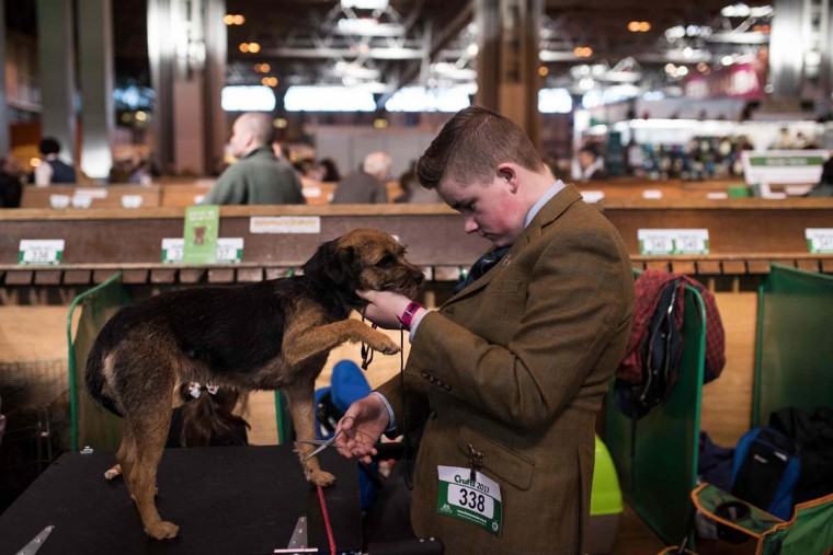 A man grooms a Border Terrier before it is judged on the first day of the Crufts dog show at the National Exhibition Centre in Birmingham, central England, on March 9, 2017. (OLI SCARFF/AFP/Getty Images)