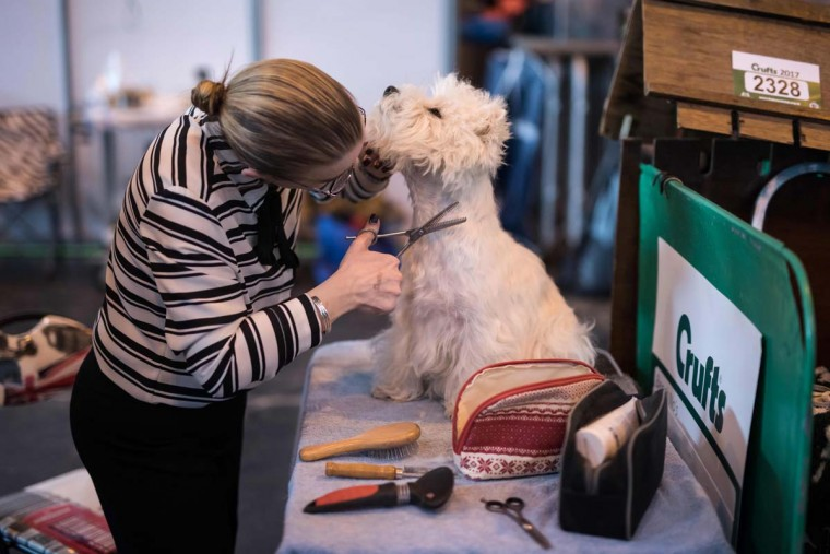 A woman grooms her prize-winning West Highland White Terrier dog on the first day of the Crufts dog show at the National Exhibition Centre in Birmingham, central England, on March 9, 2017. (OLI SCARFF/AFP/Getty Images)