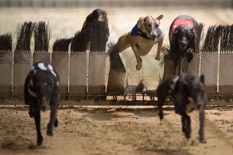 Greyhounds compete on the track during an evening of greyhound racing at Wimbledon Stadium in south London on March 18, 2017. March 25 will see the final day of racing at the Wimbledon dog track which will close to be demolished to make way for a new stadium for AFC Wimbledon. The closer of track will mark the end of the once hugely popular working-class sport of greyhound racing in London. (Justin Tallis/AFP/Getty Images)