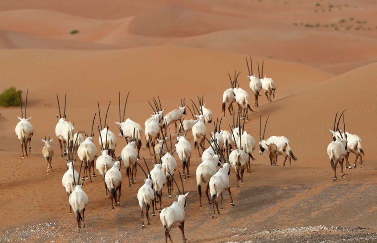 Arabian Oryx are seen at the Arabian Oryx Sanctuary in Um al-Zamool, near the United Arab Emirates' border with Saudi Arabia on March 23, 2017. (KARIM SAHIB/AFP/Getty Images)