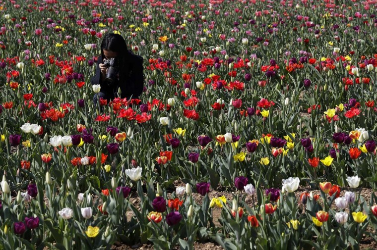 A woman photographs tulip flowers in the first Italian tulip field, planted by a Dutch couple to recreate the tradition in the Netherlands where you can pick your own tulip, in Cornaredo, near Milan, Italy, Wednesday, March 29, 2017. (AP Photo/Antonio Calanni)