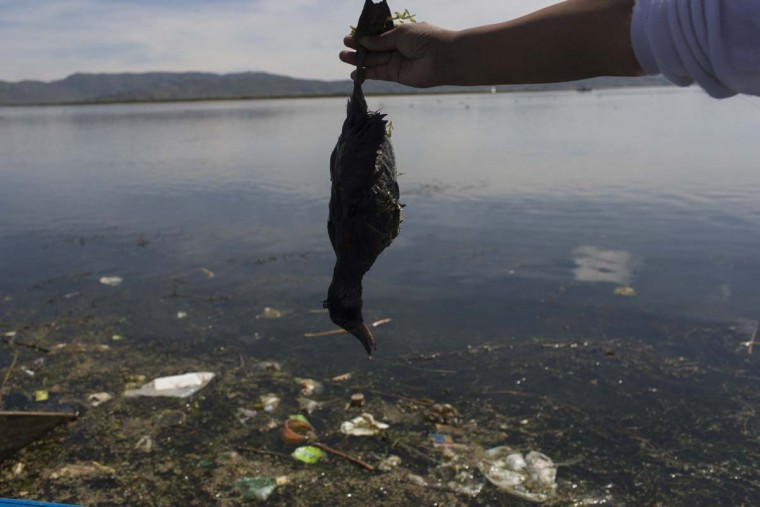 "In this Feb. 4, 2017 photo, environmental activist Maruja Inquilla holds a dead bird called a ""Choca,"" on the shore of Lake Titicaca, in Coata, in the Puno region of Peru. Untreated sewage water drains from two dozen nearby cities, and illegal gold mines high in the Andes dump up to 15 tons of mercury a year into a river leading to the lake. (AP Photo/Rodrigo Abd)"