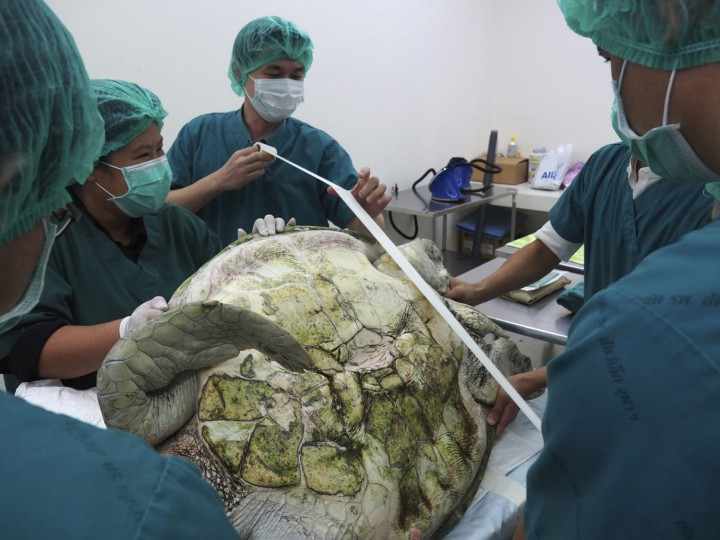 "In this photo released by Chulalongkorn University's veterinary faculty, veterinarians prepare to operate the female green green turtle nicknamed ""Bank"" at the veterinary faculty in Bangkok, Thailand, Monday, March 6, 2017. Veterinarians operated on ""Bank,"" removing less than 1,000 coins from the endangered animal. Her indigestible diet was a result of many tourists seeking good fortune tossing coins into her pool over many years in the eastern town of Sri Racha. (Chulalongkorn University's veterinary faculty via AP)"