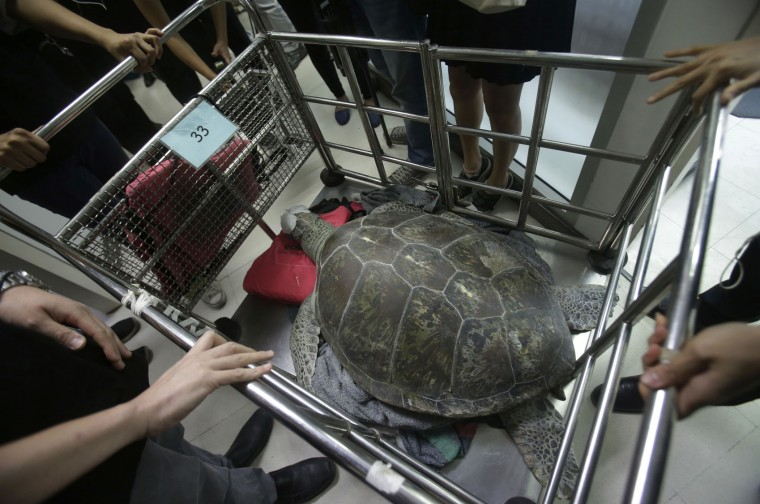 "The female green green turtle nicknamed ""Bank"" is carried after her surgery at Chulalongkorn University's veterinary faculty in Bangkok, Thailand, Monday, March 6, 2017. Veterinarians operated Monday on ""Bank,"" removing less than 1,000 coins from the endangered animal. Her indigestible diet was a result of many tourists seeking good fortune tossing coins into her pool over many years in the eastern town of Sri Racha. (AP Photo/Sakchai Lalit)"