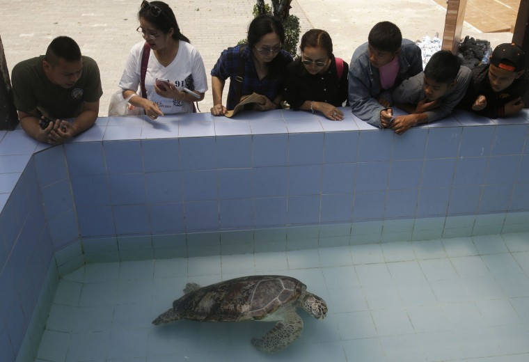"In this Friday, March 3, 2017 photo, people watch the female green green turtle nicknamed ""Bank"" swim in a pool at Sea Turtle Conservation Center n Chonburi Province, Thailand. Veterinarians operated Monday, March 6, 2017, on ""Bank,"" removing less than 1,000 coins from the endangered animal. Her indigestible diet was a result of many tourists seeking good fortune tossing coins into her pool over many years in the eastern town of Sri Racha. (AP Photo/Sakchai Lalit)"