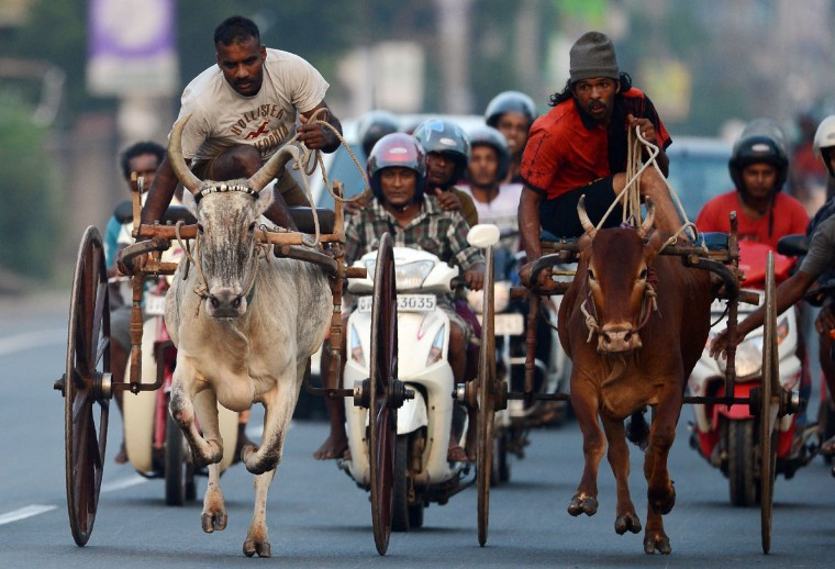 Sri Lankan participants control their bulls during a traditional cart race to mark the Sri Lanka National New Year in Kaduwela near Colombo on April 9, 2017. The new year which is common to both majority Sinhalese and minority Tamils dawned on April 14, but celebrations can go on for weeks. (Lakruwan Wanniarachchi/AFP/Getty Images)