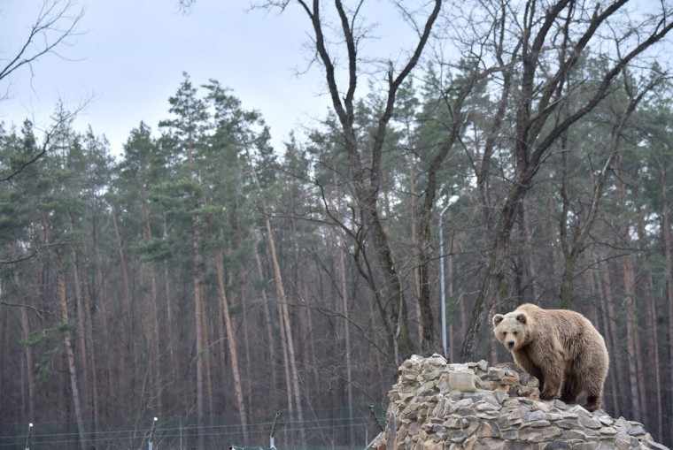A brown bear sits atop his den in a shelter for bears rescued from circuses and private restaurants of Ukraine, near Zhytomyr, some 150 km west of Kiev, on March 24, 2017. Tortured for years by human hands these mighty animals got a chance to start it all over again in a shelter near the city of Zhytomyr, in the northwest of the country. Opened in 2012 by international animal charity Four Paws, the rescue centre soon became one of the biggest sights of the region. (SERGEI SUPINSKY/AFP/Getty Images)