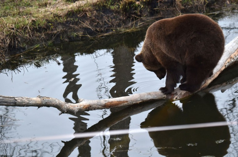 A brown bear stands on a log in an artificial lake in a shelter for bears rescued from circuses and private restaurants of Ukraine, near Zhytomyr, some 150 km west of Kiev, on March 24, 2017. Tortured for years by human hands these mighty animals got a chance to start it all over again in a shelter near the city of Zhytomyr, in the northwest of the country. Opened in 2012 by international animal charity Four Paws, the rescue centre soon became one of the biggest sights of the region. (SERGEI SUPINSKY/AFP/Getty Images)
