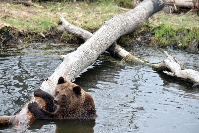A brown bear sits in an artificial lake in a shelter for bears rescued from circuses and private restaurants of Ukraine, near Zhytomyr, some 150 km west of Kiev, on March 24, 2017. Tortured for years by human hands these mighty animals got a chance to start it all over again in a shelter near the city of Zhytomyr, in the northwest of the country. Opened in 2012 by international animal charity Four Paws, the rescue centre soon became one of the biggest sights of the region. (SERGEI SUPINSKY/AFP/Getty Images)